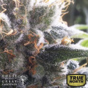 Barbara Bud Feminized Seeds (House of The Great Gardener)