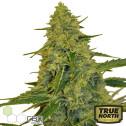 CBD Chem Dawg Feminized Seeds (CBD Botanic)