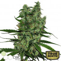CBD Somango Feminized Seeds (CBD Botanic)