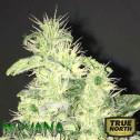 Supreme CBD Kush Feminized Seeds (Nirvana Seeds)