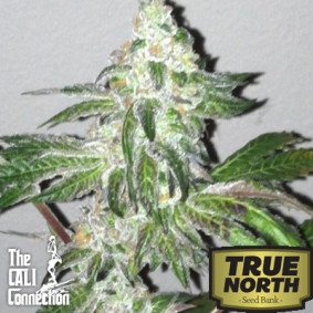 Girl Scout Cookies Feminized Seeds (Cali Connection)