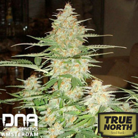 60 Day Wonder Auto-flowering Feminized Seeds (DNA Genetics)