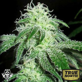 Gigabud Feminized Seeds (G13 Labs)