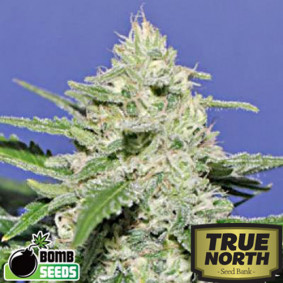 Widow Bomb Feminized Seeds (Bomb Seeds)
