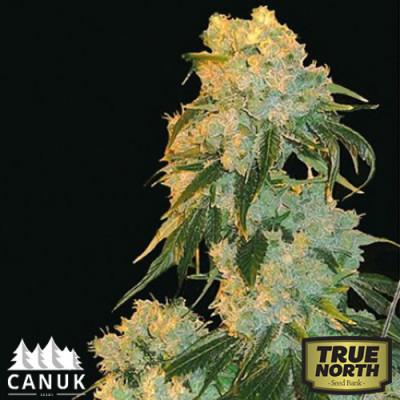 Northern Lights Feminized Seeds (Canuk Seeds)