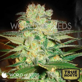 Kush Strains | True North Seed Bank