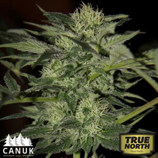 Northern Lights Autoflowering Feminized Seeds (Canuk Seeds