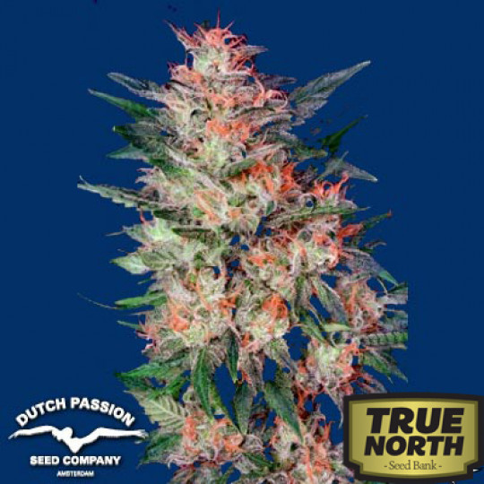 White Widow Feminized Seeds (Dutch Passion) | True North Seed Bank