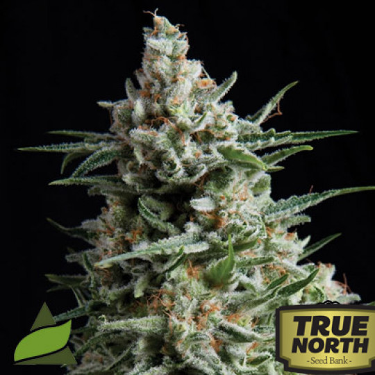 Northern Lights Strains | True North Seed Bank