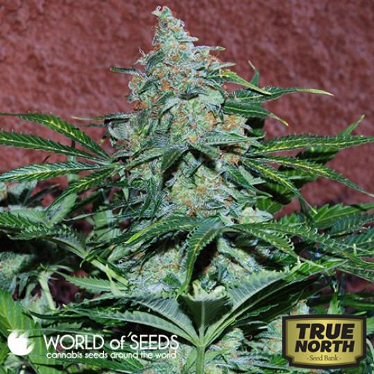 Autoflowering Seeds | True North Seed Bank