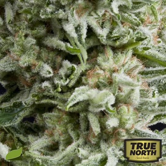Haze Strains | True North Seed Bank