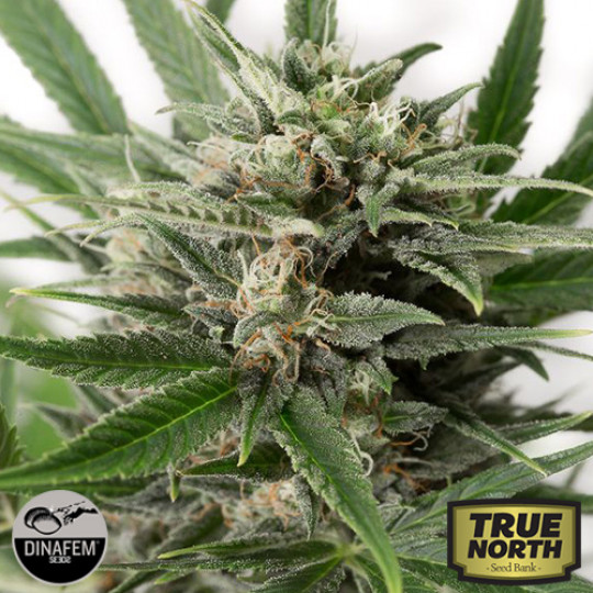 Blue Strains | True North Seed Bank