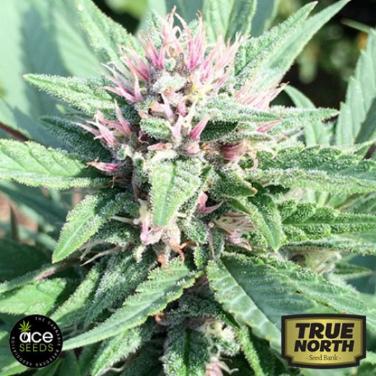 Ace Seeds   True North Seed Bank