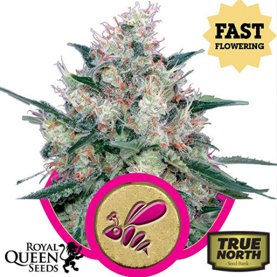 Royal Queen Seeds | True North Seed Bank