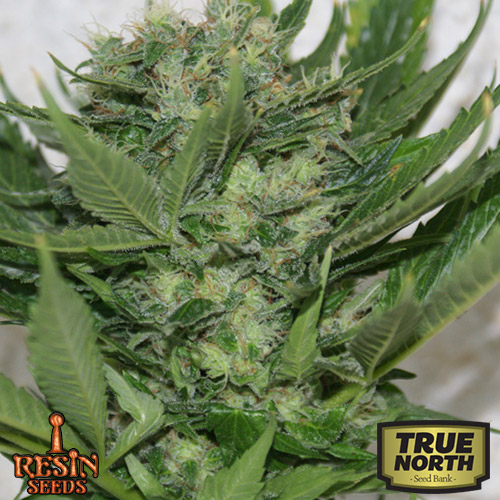Sour P Feminized Seeds (Resin Seeds)